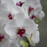 白い花びらに紅色のリップ