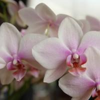淡いピンク色の胡蝶蘭